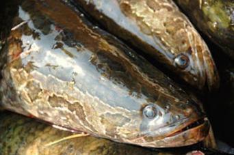 Snakehead a.ka. Frankefish