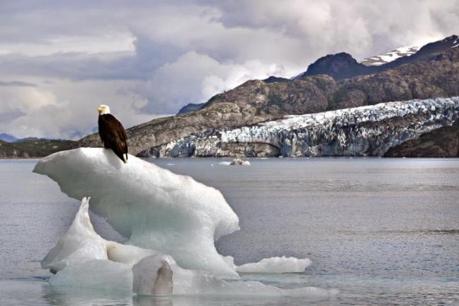 Eagle on Ice at Glacier Bay National Park and Preserve