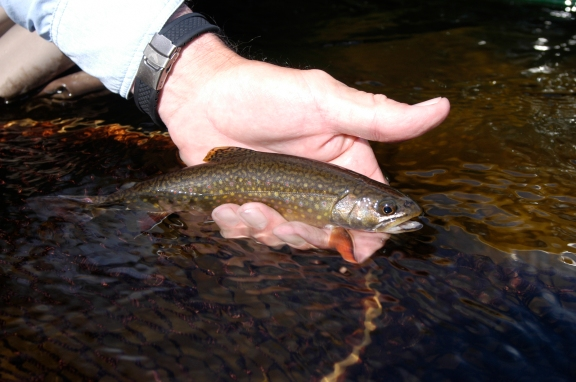 Anglers will be able to keep 10 brook trout on certain streams starting this year. Photo: By Howard Meyerson
