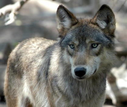 Gray wolves now live in every Upper Peninsula county/