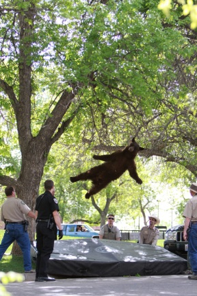 Falling bear killed: Colorado bear removed from University of Colorado-Boulder campus is dead - chicagotribune.com