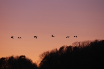 Sandhill cranes coming in
