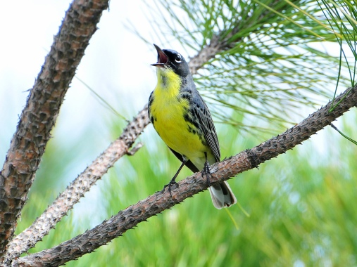 Kirtland's Warblers are at their all-time high in Michigan. Photo: U.S. Fish & Wildlife Service.