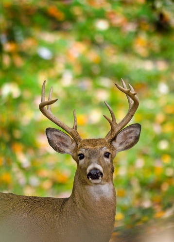 Nice trophy bucks can be found in Michigan if you know where to look. Photo by Dave Kenyon