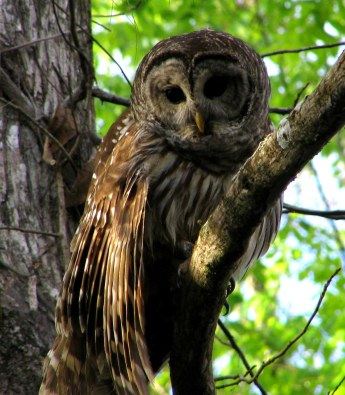 Barred owls are among the birds that will benefit from collaborative funding of grassland restoration in the Huron-Manistee National Forest. Photo:  Wikimedia Commons