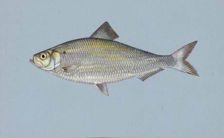 Alewives, the primary forage for Chinook salmon in Lake Michigan are again at an all-time low. Illustration: USFWS