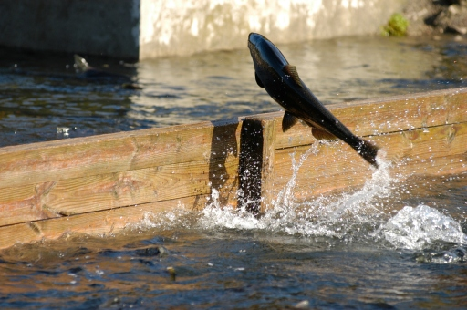 A Chinook salmon in the retention ponds at the Little Manistee River egg take facility operated by the Michigan Department of Natural Resources. Photo by Howard Meyerson