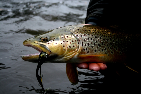 Big brown trout lay in hiding on the lower AuSable River.