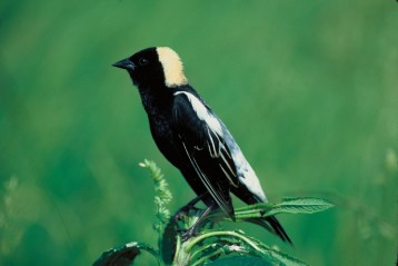Bobolinks began nesting successfully when hayfield mowing was delayed. Photo: US Fish & Wildlife Service.