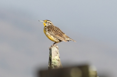 Life for Meadlowlarks also improved when mowing was delayed until after nesting season. Photo: Dominic Sherony, Wikimedia Commons
