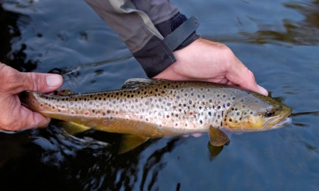 Brig brown trout like this can be found on the AuSable River north branch. Photo: Howard Meyerson