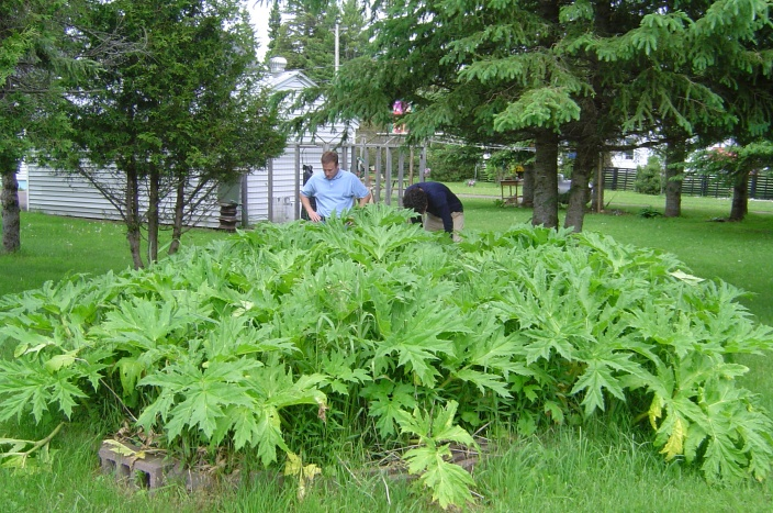 Brian Kooper of the USDA and Matt Bushman study a patch of hogweed found in a backyard planter in Wakefield in 2004. Photo: USDA
