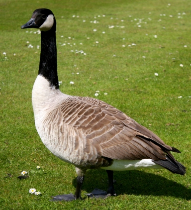 Early goose hunting season would open September 1 as usual.  Photo: Wikimedia Commons