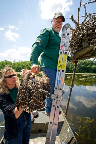 DNR biologist Julie Oaks hands off a transmittered to to be placed back in the nest to DNR technician Jim Pulling. Photo: MDNR