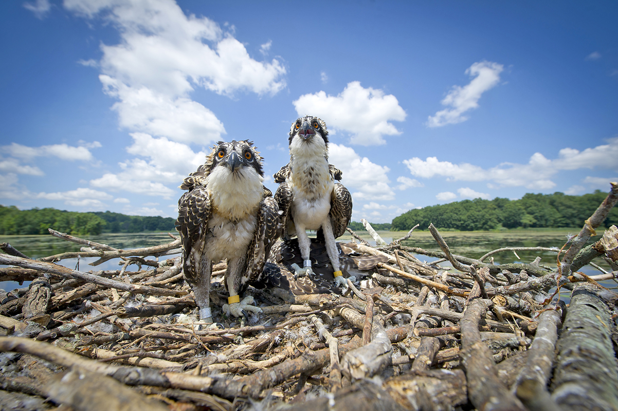 Gps equipped ospreys released in southeast michigan the for Kensington park