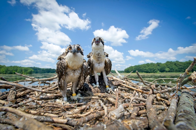 Young osprey in a nest at Kensington Metro Park. The bird on the left has been fitted with a solar powered GPS transmitter.  Photo: MDNR