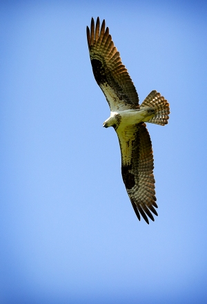 Adult Osprey.