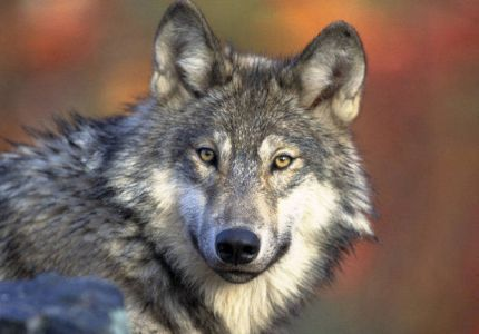 Michigan's Gray Wolf plan is open for public review.