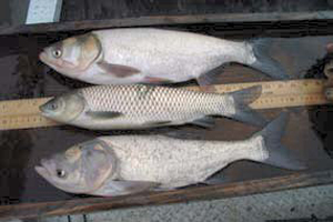 Silver, Grass and Bighead Carp compared. Photo: US Fish & Wildlife Service.