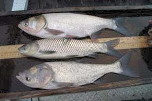 Silver, Grass and Bighead Carp compared. Photo: US Fish & Wildlife Service.