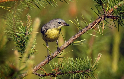 Conservation officials are considering taking the Kirtland's Warbler off the federal Endangered Species List. Photo: Courtesy Michigan DNR