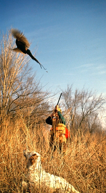 The joys of working a dog and flushing a rooster pheasant once drew 500,000 Michigan hunters to the field each fall.  Photo: Dave Kenyon, Michigan DNR.
