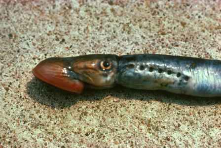 Lake Huron and Lake Michigan anglers are seeing fewer sea lamprey this year. Photo: US Fish & Wildlife Service.