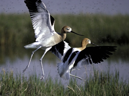 Hickman spotted American Avocets on August 20, 2009 after visiting Au Train Beach for 34 days. Photo: U.S. Fish & Wildlife Service.
