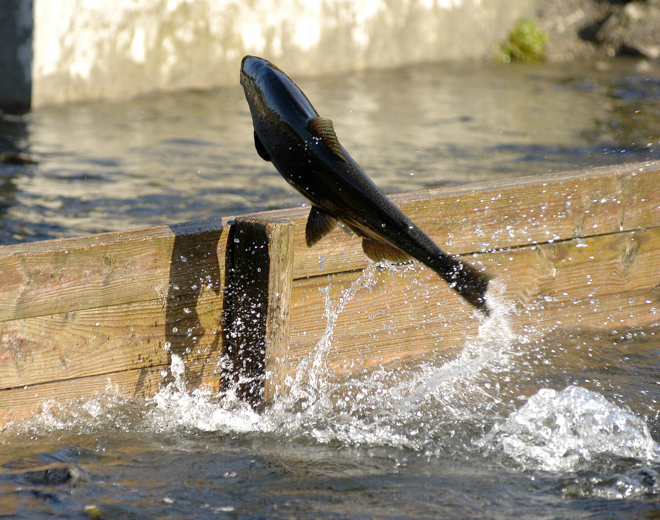 Salmon Fishing Dismal | The Outdoor Journal