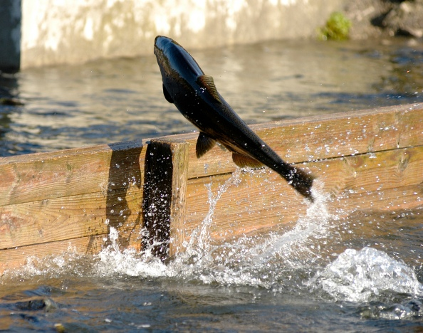A chinook salmon leaps from one raceway to another at the Little Manistee River wier where eggs are collected. Photo: Howard Meyerson