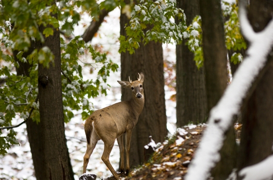 This deer would not be a legal kill where antler point restrictions are in place. Photo: Dave Kenyon, Michigan DNR.