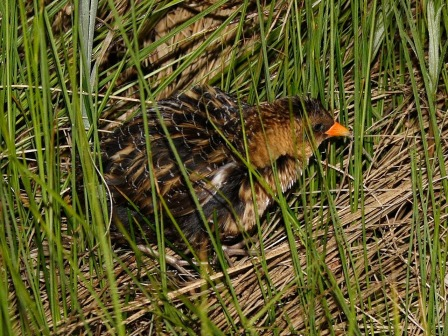 Hickman found a Yellow Rail after bushwacking through a swamp. Photo: Dominic Sherony, Wikimedia Commons.