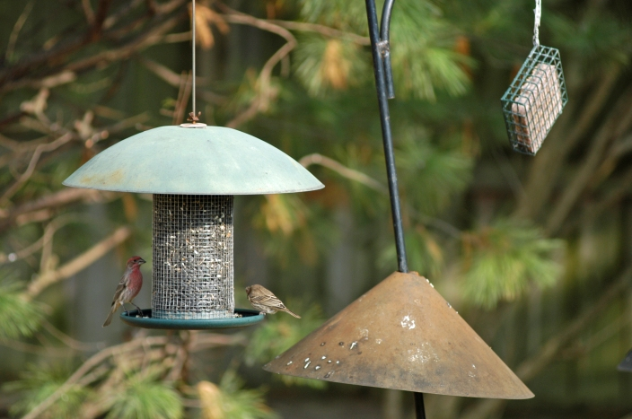 A house finch and sparrow feed on a seed mix in the backyard. Photo: Howard Meyerson