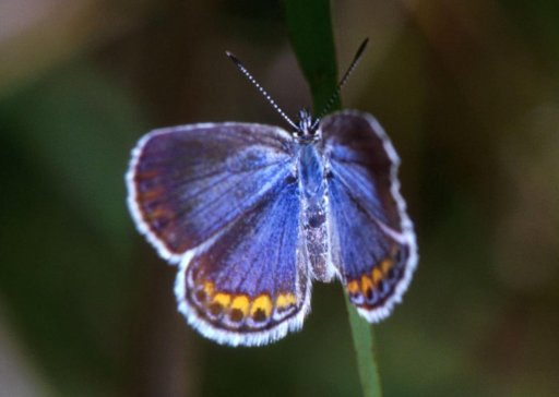 Midwest Karner Blue Butterfly populations have crashed and the effects of climate change are suspected to be the cause. Photo: U.S. Fish & Wildlife Service