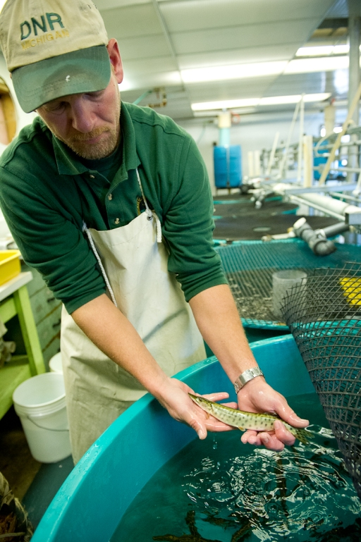 """PIT"" tagging future Great Lakes Musky broodstock at Wolf Lake State Fish Hatchery. Photo: Dave Kenyon, MDNR."
