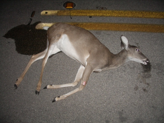 Taking roadkill home would not require a state salvage permit if new legislation is passed. Photo: Wikimedia Commons.