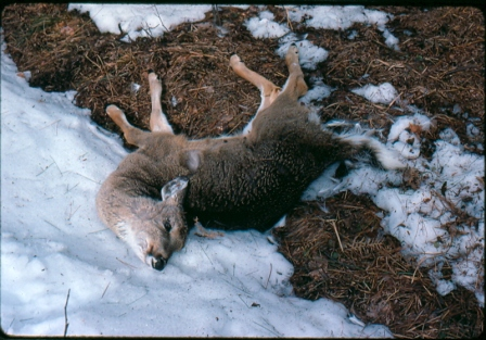 Deep snows in the Upper Peninsula are likely to result in considerable deer mortality this year. Photo: Michigan DNR