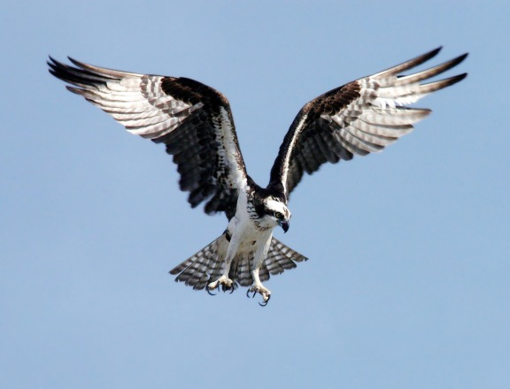 Fletcher's Pond is popular with both anglers and birdwatchers who enjoy seeing the osprey that nest on man made nesting platforms.  Photo: Wikimedia Commons.