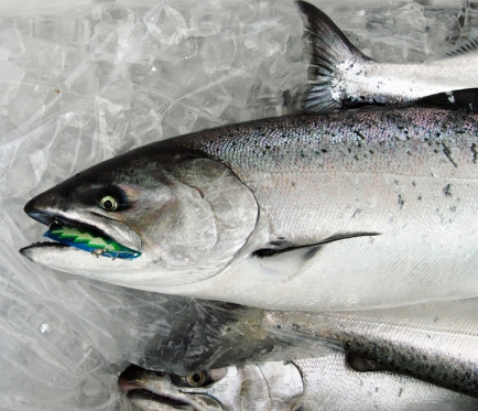 Fifty percent of the chinook salmon caught had nothing in the their stomachs. Photo: Howard Meyerson