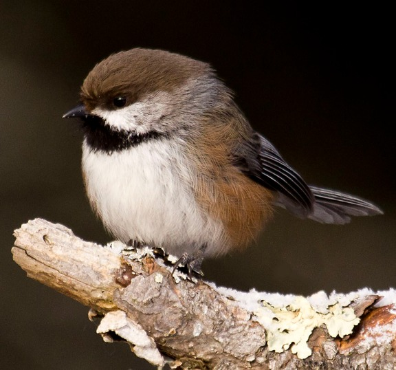 The Boreal Chickadee is as species found in Boreal Forests which may be impacted by climate shifts. Photo: Beth Olson