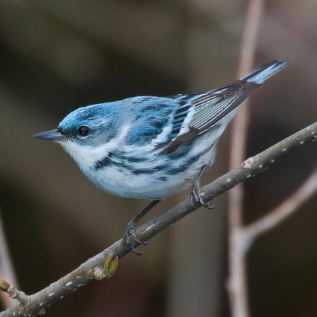 The Cerulean Warbler would also be affected by changes in climate in Michigan.