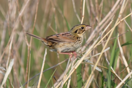 The Henslow's Sparrow, a grassland species already experiencing steep declines due to a loss of grasslands.  Photo: Wikimedia Commons.