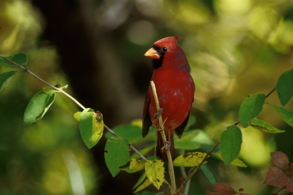 Scientists report that Northern Cardinals are already adapting to climate changes. Photo: USFWS.