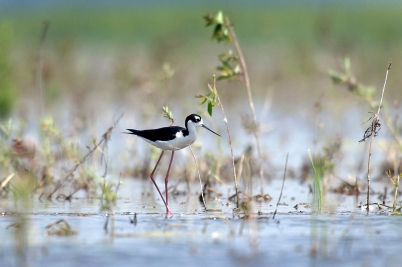 Unique birds like this Black-necked Stilt have been seen at the Shiawassee National Wildlife Refuge in Saginaw County. (Courtesy | Michigan Department of Natural Resources)