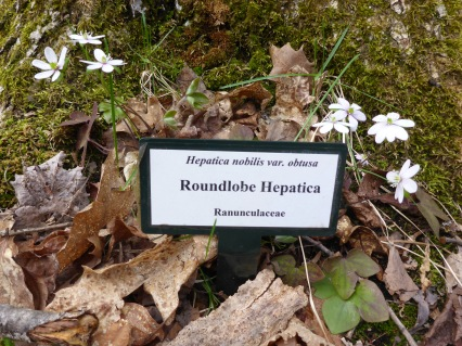 Round lobe hepatica were blooming, one of 400 species of wildflowers on the property. Photo: Howard Meyerson