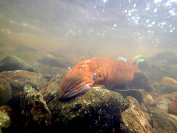 A female sea lamprey (marked with various identifying tags) migrates upstream, attracted to a male pheromone. Photo:  Andrea Miehls, Great Lakes Fishery Commission.