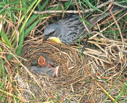 A male Kirtland's Warbler at the nest. Photo: U.S. Fish and Wildlife Service