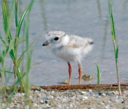 Endangered Piping Plovers have been affected by avian botulism. Photo. USFWS.