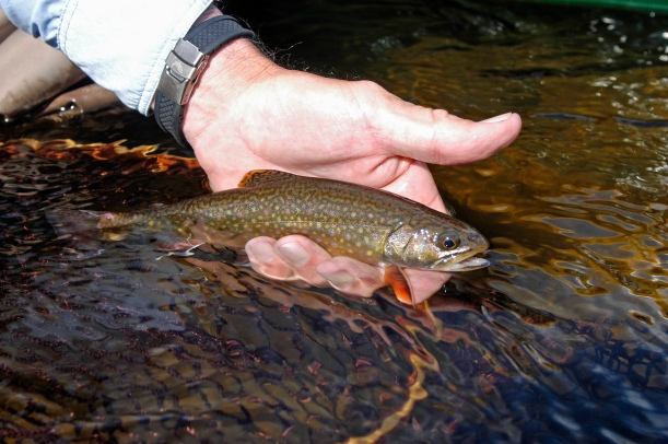 Wild brook trout (above) populations can be identified in rivers along with other wild trout species. Photo: Howard Meyerson.