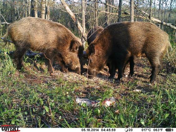 Two feral swine captured by a trail camera feed at a Midland County baited site set for their capture by federal officials. Photo: U.S.D.A Wildlife Services.